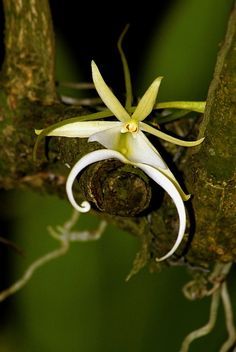 Rare everglades ghost orchid