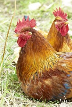 """Hens……..HERE SHE COMES WITH HER APRON FILLED WITH EGGS -- REMEMBER, WHEN I SAY ….""""CLUCK-ER-DOODLE-DOO"""", YOU JUMP OUT IN FRONT OF HER…….WAIT TIL YOU SEE THOSE EGGS TAKE FLIGHT (!!)……WHOA NELLIE""""…….ccp"""