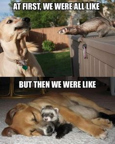 OMG! So cute! Wish my ferret got along with other animals, but he doesn't :(