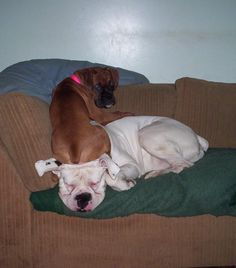 Why is it the pup always tries to dominate the older boxer and the older boxer just doesn't care!