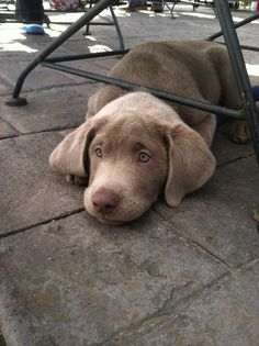 Labrador Retriever – Intelligent and Fun Loving Cute Puppies, Cute Dogs, Dogs And Puppies, Doggies, Silver Lab Puppies, Silver Labrador, Silver Labs, Big Dogs, I Love Dogs