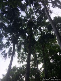 Botanical Gardens Brisbane Cabbage Palm