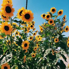 fun fact: sunflowers are my favourite flowers