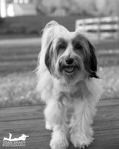 Cannot help but love that face! Colby is an 11 year old Tibetan Terrier.