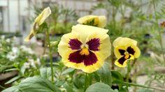 #yellowflower, #brightnaturalflowers, #mainegrown, #mainefarmstand
