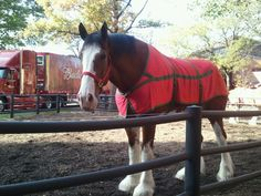 ©EssentialPublications  Budweiser Clydesdale Horse