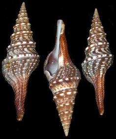 Turrid shells