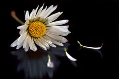 margherita e petali su fondo nero