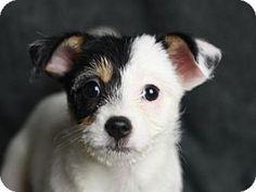 Glastonbury, CT Jack Russell Terrier/Shih Tzu Mix. Meet
