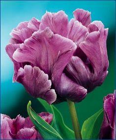 Spring Flowering Garden Bulb UK-Gardens Pack of 50 Blue Parrot Tulip Bulbs