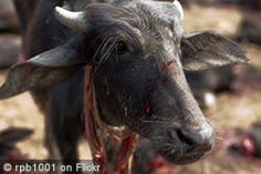 PETITION - The Gadhimai Festival for over 250 years has continued to slaughter Gadhimai buffalos en masse as part of the tradition. Please sign and urge the Government of Nepal to STOP funding these inhumane slaughter festivals. Big Animals, Farm Animals, Respect Life, Animal Action, Factory Farming, Stop Animal Cruelty, Animal Welfare, Animal Rights, Best Part Of Me