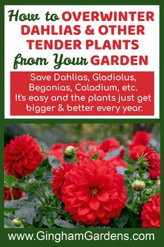 Learn How to Save Tender Bulbs like Dahlias, Gladiolus, Begonias, Canna Lilies, Calla Lilies, Caladium, Elephant Ears, etc., by storing them over winter indoors. Plus, Learn How to Propagate and Overwinter Plants from your Garden like Ivy, Sweet Potato Vine, Coleus and many more. It's frugal gardening and it's very easy. #overwinterdahlias #overwinterbegonias Annual Flowers For Shade, Shade Flowers, Bulb Flowers, Best Perennials, Flowers Perennials, Gardening Zones, Container Gardening, Shade Garden, Garden Plants