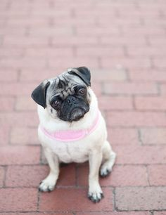 Pug service dog © Emma Grace Photography