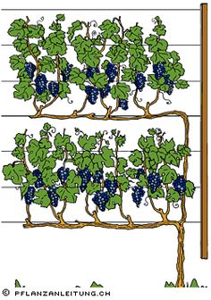 pflanzanleitu… Grape vines vines are climatically demanding plants.pflanzanleitu… Grape vines vines are … Fruit Garden, Edible Garden, Garden Plants, Grape Vine Trellis, Grape Vines, Espalier Fruit Trees, Plantas Bonsai, Vertical Garden Design, Vegetable Garden Design