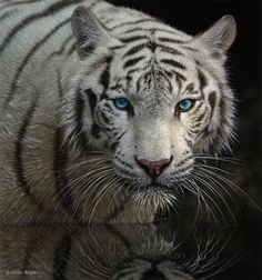 I love the Siberian Tiger- my favorite animal, no matter which color they come in they are always beautiful. <3