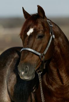 High Brow Cat remains the leading sire of the cutting horse industry with offspring earnings of more than $57 million.