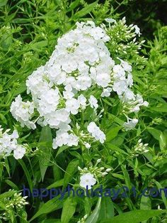EXISTING: Phlox 'David' --- pure white, fragrant summertime flowers that bring butterflies to your yard. Zones (Preserve for cutting garden) Phlox Flowers, Cut Flowers, White Flowers, Planting Flowers, White Orchids, Beautiful Gardens, Beautiful Flowers, Hummingbird Garden, Plant Catalogs