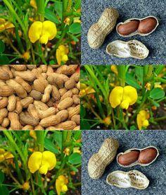 Como Plantar Amendoim em Casa – Plantio, Cultivo e Colheita! Eco Garden, Garden Deco, Edible Garden, Garden Planters, Dream Garden, Forever Green, Hobby Farms, Growing Herbs, Plantation
