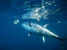 The most beautiful fish of all, Atlantic bluefin tuna.also endangered Atlantic Bluefin Tuna, Tuna Fishing, Fishing Tackle, Salt Water Fish, Fishing Techniques, Beautiful Fish, Underwater World, Saltwater Fishing, Marine Life