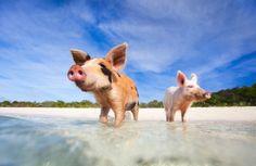 Schweine Exuma