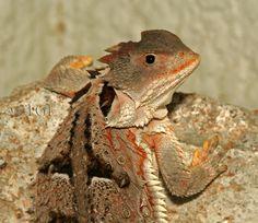 Phrynosoma orbiculare; Mountain Horned Lizard