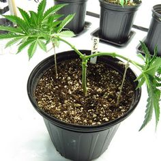 Your global source for the latest marijuana news in Along with the Best CBD products, and a up to date watch on weed legalization. Medical Marijuana, Growing Weed, Bonsai, Cannabis Cultivation, Hydroponics, Blog, Gardens, Gardening, Herbs