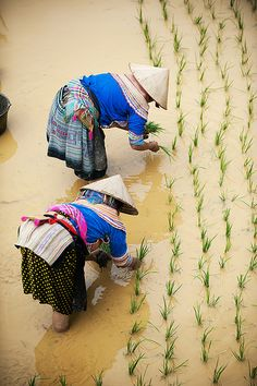 Indigenous Hmong women plant rice shoots in Bac Ha, Vietnam