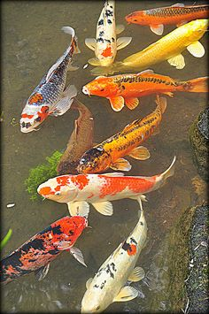 "Koi fish are the domesticated variety of common carp. Actually, the word ""koi"" comes from the Japanese word that means ""carp"". Outdoor koi ponds are relaxing. Betta, Koi Fish Pond, Fish Ponds, Koi Art, Fish Art, Fish Fish, Koi Painting, Fish Paintings, Mermaid Paintings"