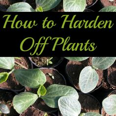 How to Harden Off Plants
