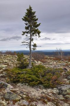 """""""Old Tijikko"""", a Norway Spruce, is believed to be 9,550 yrs. old. It is considered to be earth's oldest living individual clonal tree. It lives in Fulu Mountain in Dalarna, Sweden."""