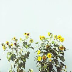 . . Sunflowers in the morning # # .