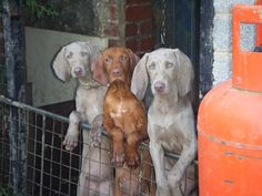 cousins, weims and vizslas are so pretty!