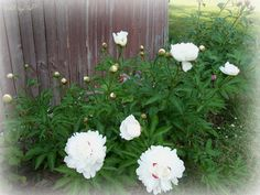 White peony -- just a touch of pink center-- its gorgeous!