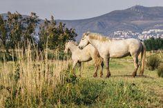 Cavalls al Parc Natural dels Aiguamolls de l'Empordà