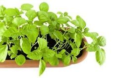 Basil is an insect repellant.  I think I may put two large pots of it beside each of our doors.  Maybe the flies and mosquitoes won't come in!