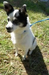 Jack - 17317849 is an adoptable Terrier Dog in Greensboro, NC. Jack is an adorable and energetic 5 year old Terrier mix. He has already been neutered, so he is ready to become part of your household. ...