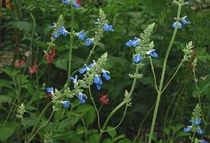 Bog Sage - my hummingbirds fight over this gorgeous sky blue salvia.