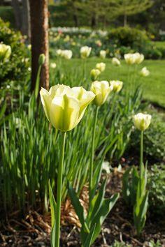 Tulipa 'Spring Green'  (a Viridiflora Tulip)