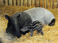 Tapirs - Although they are not genetically related and are much larger, Malayan Tapirs are similar in build to pigs, but have noses and upper lips that form a long prehensile snout and large, barrel shaped bodies made for crashing through dense forest vegetation.  When baby tapir is fully grown he is likely to stand at over three feet tall and be up to eight feet in length, weighing up to 900 pounds.