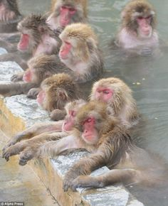 error888:  Japanese snow monkeys warm up in Hakodate's natural hot springs | Daily Mail Online