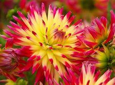 Dahlia Seeds Cactus Flower Mix, Unique Colors, Attracts Butterflies to Your Garden, 10 Seeds Unique Flowers, Red Flowers, Colorful Flowers, Beautiful Flowers, Unique Colors, Flower Colors, Beautiful Gorgeous, Dahlia Flower, Cactus Flower