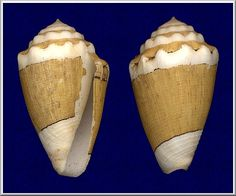 Conus dorreensis Péron, 1807 On reef north of Exmouth, West Australia, 1971 (25 mm.)