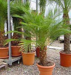 Tipos De Palmas | ... de Roebelen, Palma fénix robelini, Palma fénix enana, Datilera enana