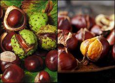 Prepare the chestnuts are important for health, recipe for chestnut tincture