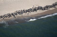 """""""Seals at Monomoy Island Aerial Photo"""" by Christopher Seufert, Chatham, Cape Cod // Chatham, Cape Cod:  Aerial photography by Chatham photographer Christopher Seufert.  Image from his upcoming book 'Chatham By Air.' // Imagekind.com -- Buy stunning, museum-quality fine art prints, framed prints, and canvas prints directly from independent working artists and photographers."""