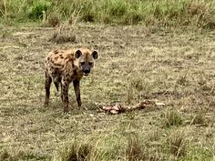 Experience wildlife while interacting and observing them of how they contributed in maintaining balance in our ecosystem. Timon And Pumbaa, Simba And Nala, Kenya Africa, Hyena, Dark Night, Kangaroo, Safari, Wildlife, Cap