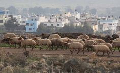 A breed of sheep believed to have been raised by the Bible's Jacob are set to be sent to Israel in the coming months. The 130 rare sheep are expected to be