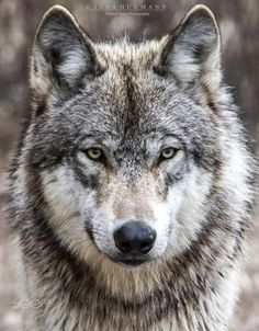 timber wolf portrait | animal + wildlife photography #wolves