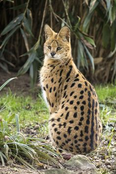 Serval is long-legged and long-eared. They can jump many meters into the air to catch winged prey and their hearing can pickup even the slightest of sounds. Caracal, Serval Cats, Zoo Animals, Animals And Pets, Cute Animals, Cute Kittens, Cool Cats, Small Wild Cats, Big Cats