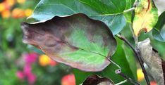 Cea mai înspăimântătoare boală a gutuiului și părului   Paradis Verde Fruit Trees, Paradis, Grape Vines, Plant Leaves, Plants, Animals, Gardening, Health, Agriculture